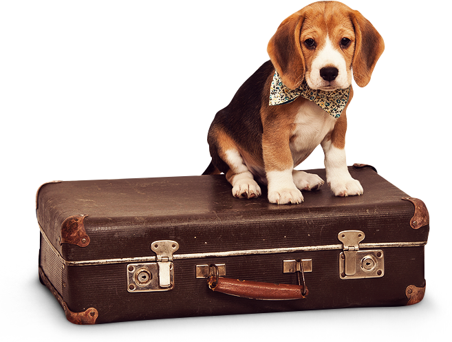 Picture of a small beagle on an old suitcase